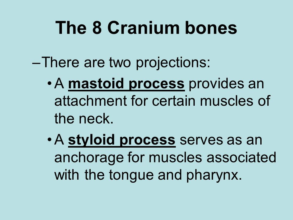 The 8 Cranium bones There are two projections: