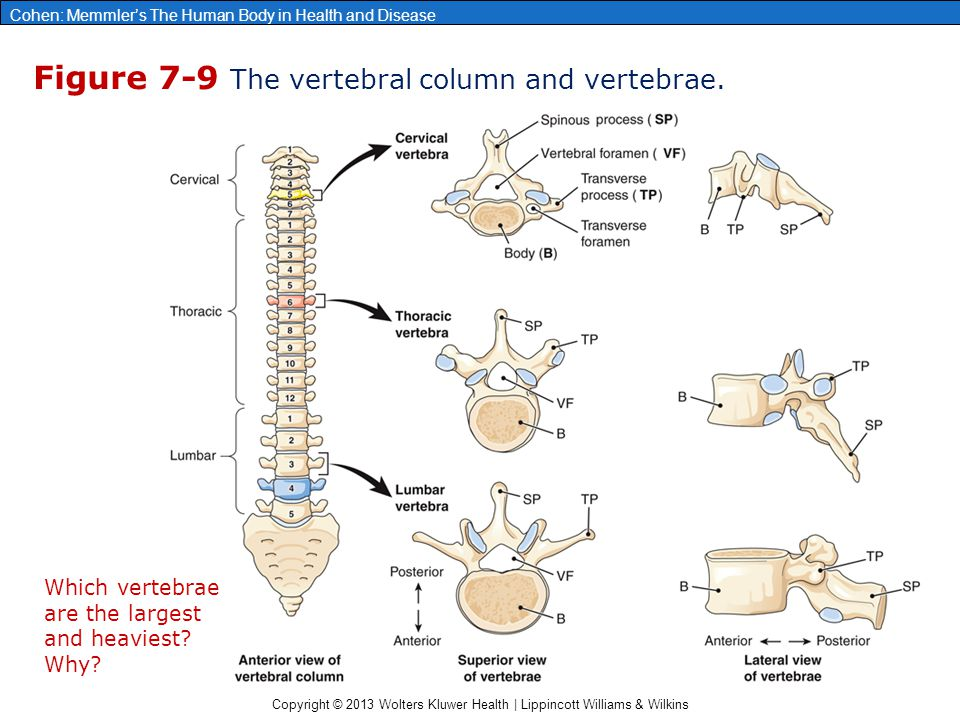 Chapter 7: The Skeleton: Bones and Joints - ppt video ...