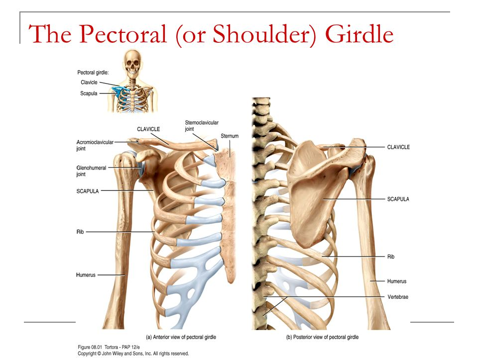 chapter 8 the skeletal system  the appendicular skeleton