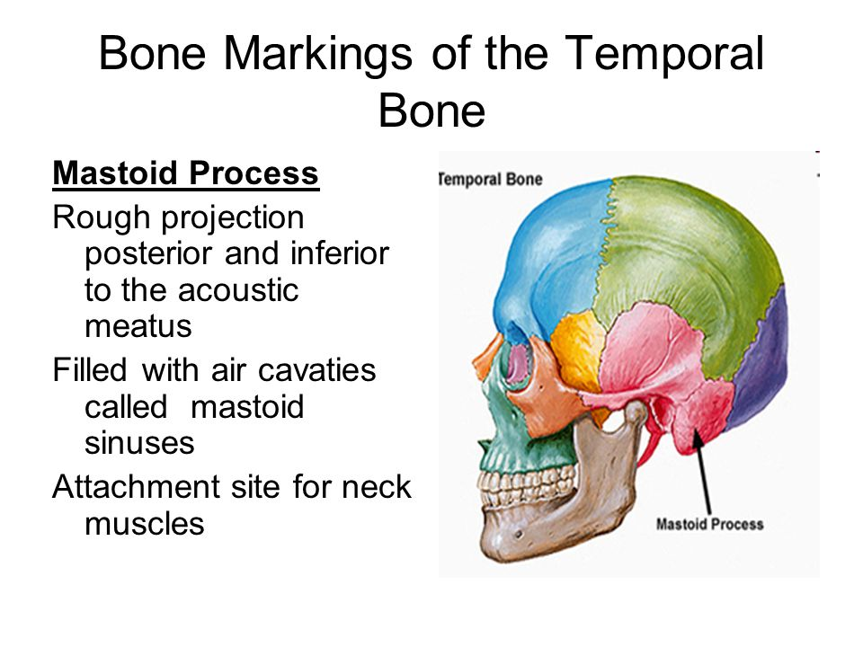 the projection of the temporal bone is the