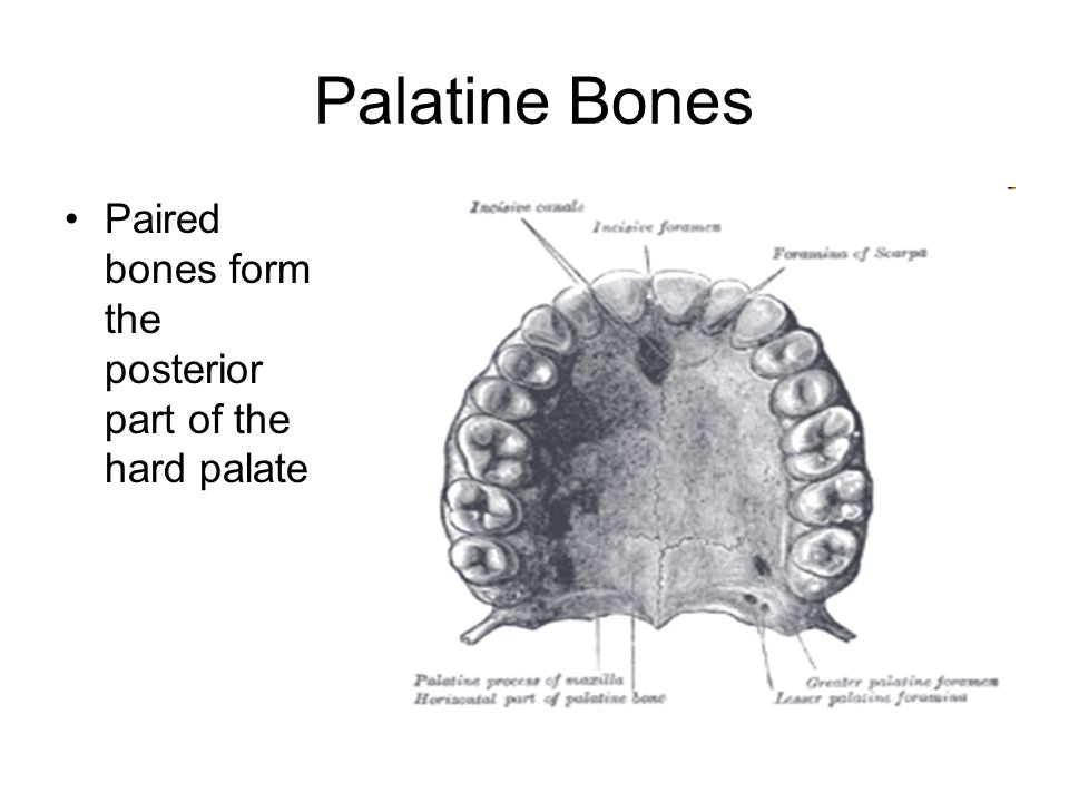 Palatine Bones Paired bones form the posterior part of the hard palate