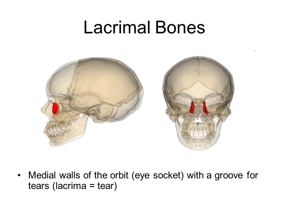 Lacrimal Bones Medial walls of the orbit (eye socket) with a groove for tears (lacrima = tear)