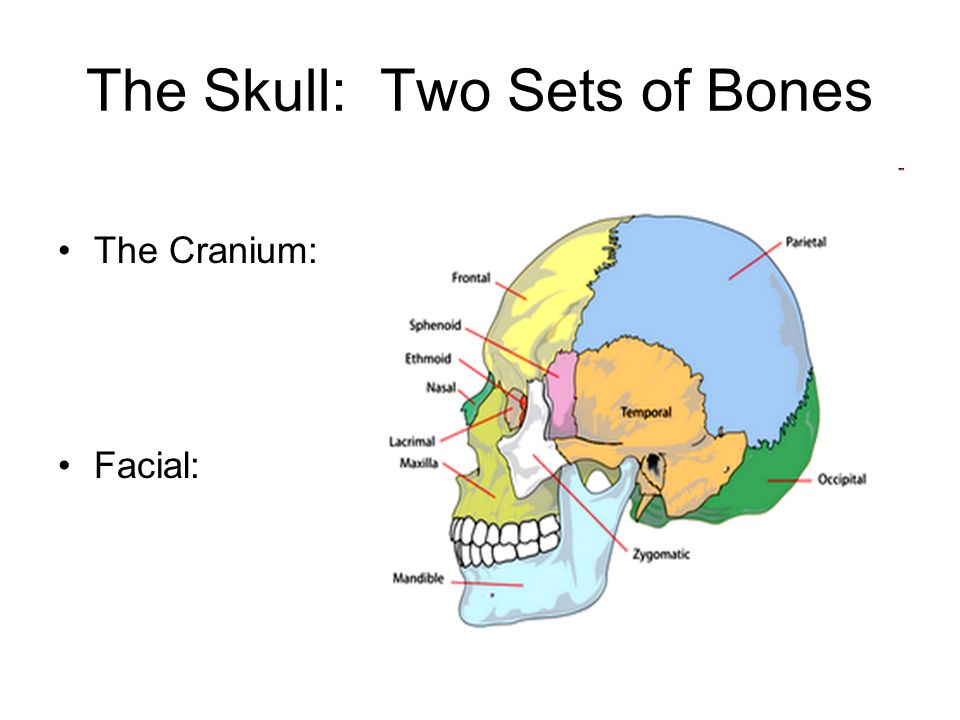 The Skull: Two Sets of Bones
