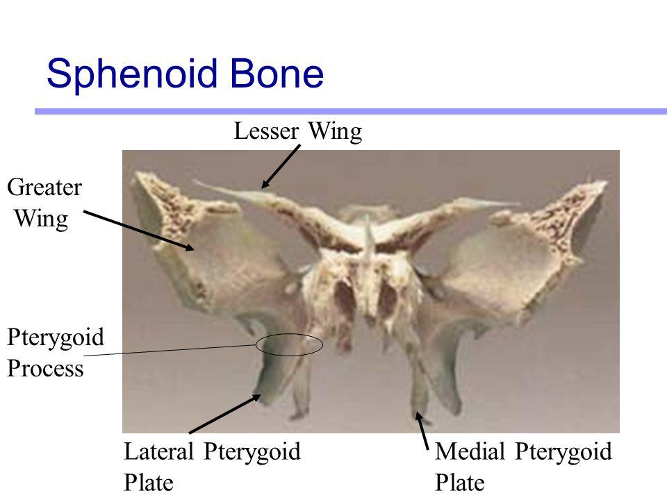 sphenoid bone pterygoid process – brownshelter, Human Body