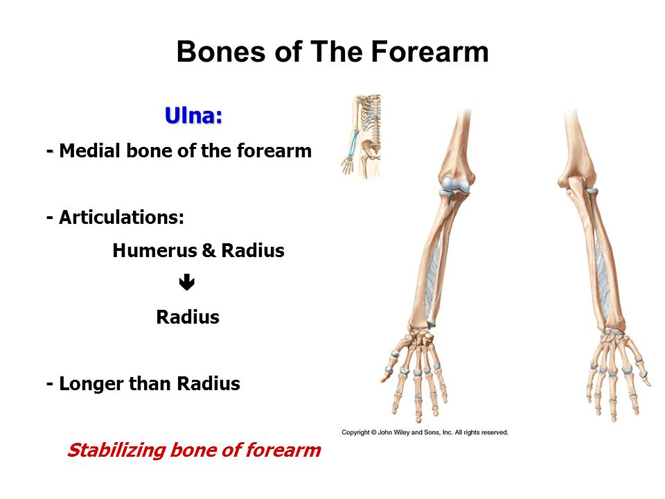 Appendicular Skeleton Bones Of The Upper Limb Ppt Video Online