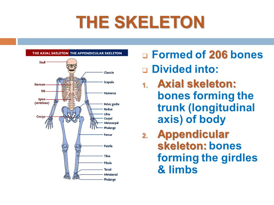 introduction to anatomy skeletal system bone ppt video