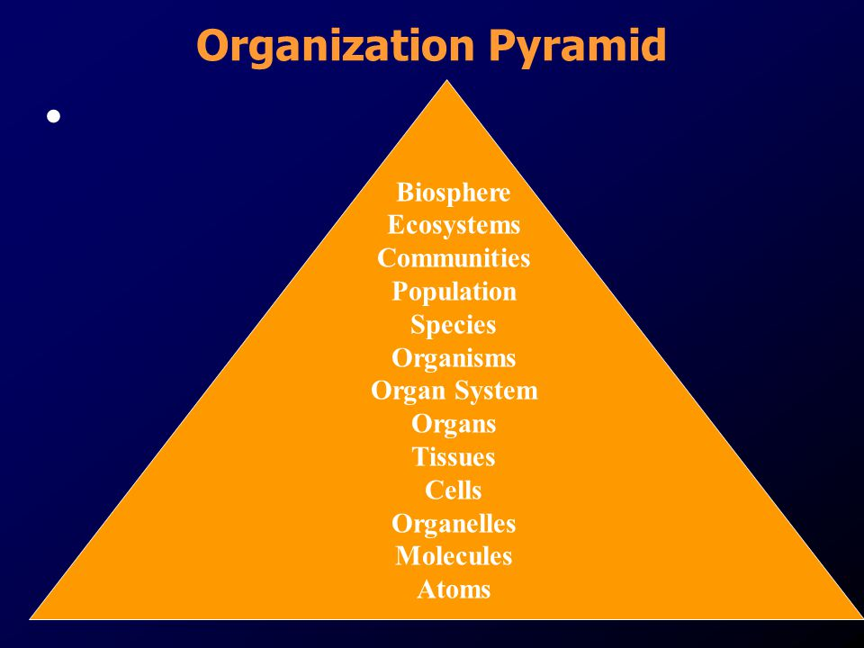 Organization Pyramid Biosphere Ecosystems Communities Population Species Organisms Organ System Organs Tissues Cells Organelles Molecules Atoms.