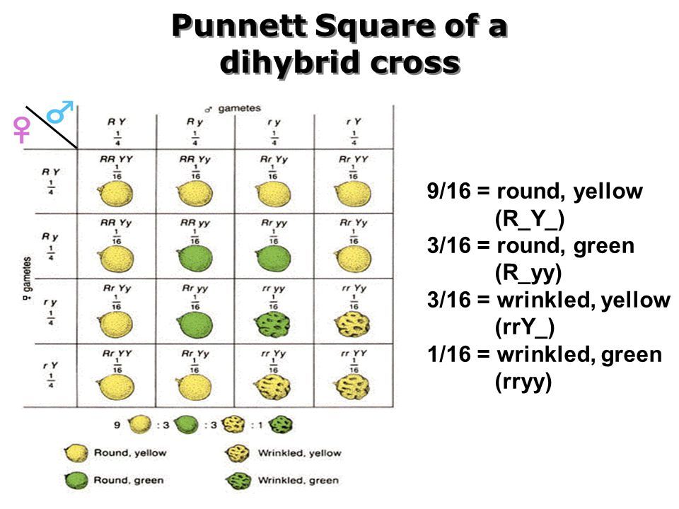 What about two traits? Dihybrid Crosses - ppt video online ...