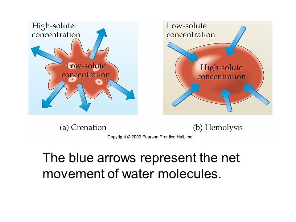 The blue arrows represent the net movement of water molecules.