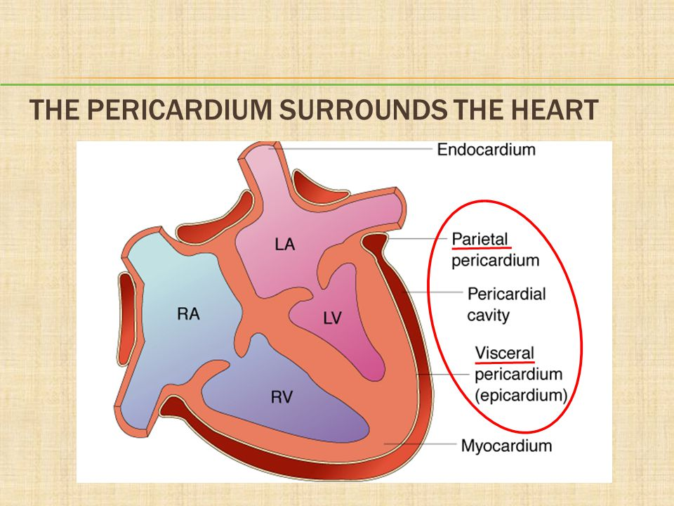 The Pericardium Surrounds the Heart