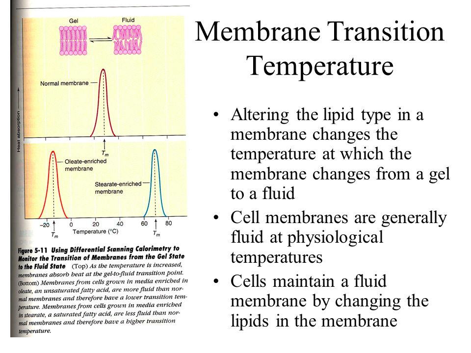 Cell Membranes and Temperature Essay Sample