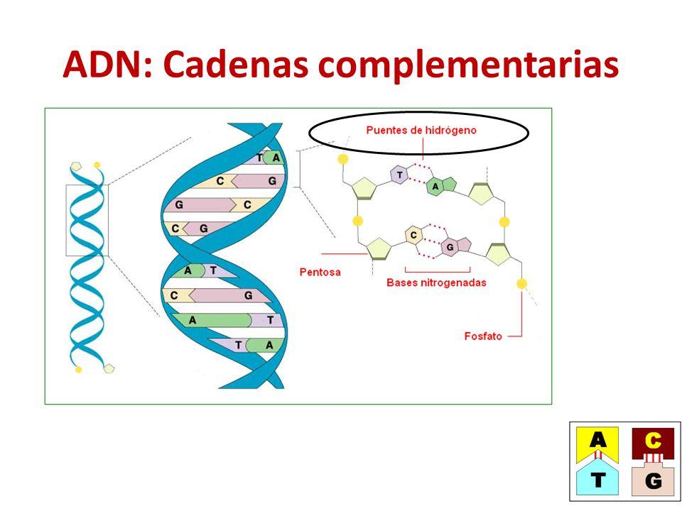 ADN: Cadenas complementarias