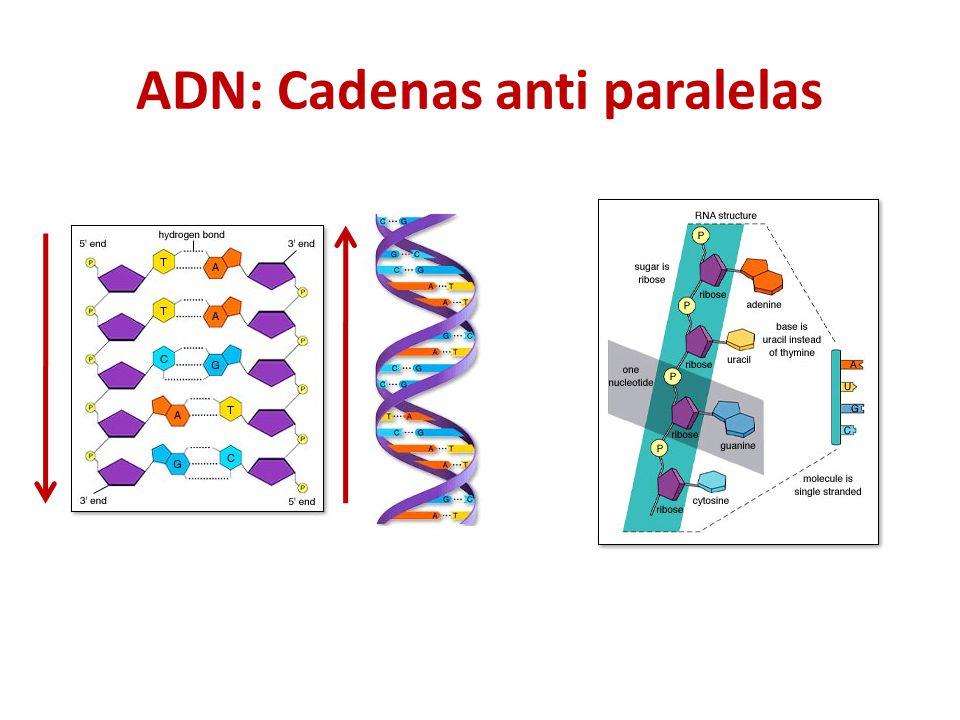 ADN: Cadenas anti paralelas