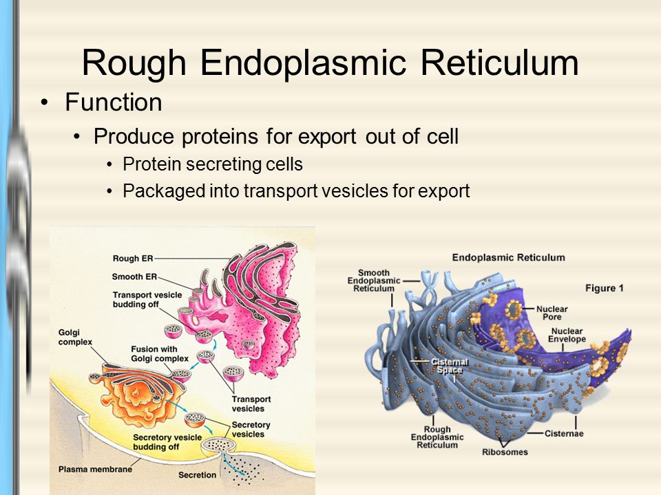 The Endomembrane System - ppt video online download