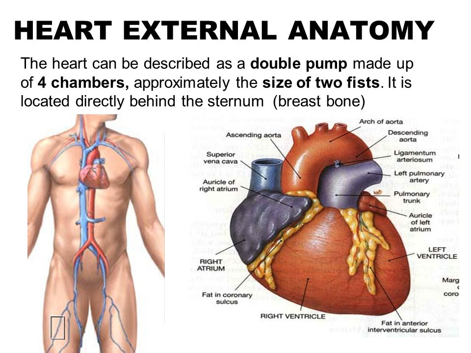 Luxury Heart External Anatomy Festooning - Human Anatomy Images ...
