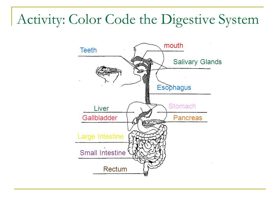Activity: Color Code the Digestive System
