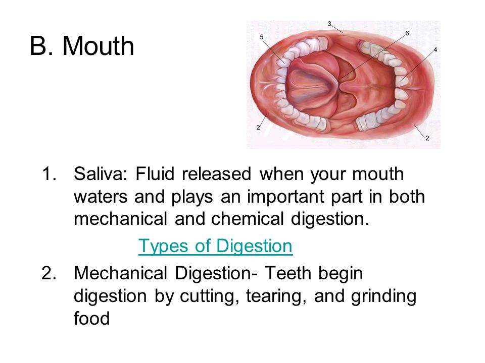 B. Mouth Saliva: Fluid released when your mouth waters and plays an important part in both mechanical and chemical digestion.