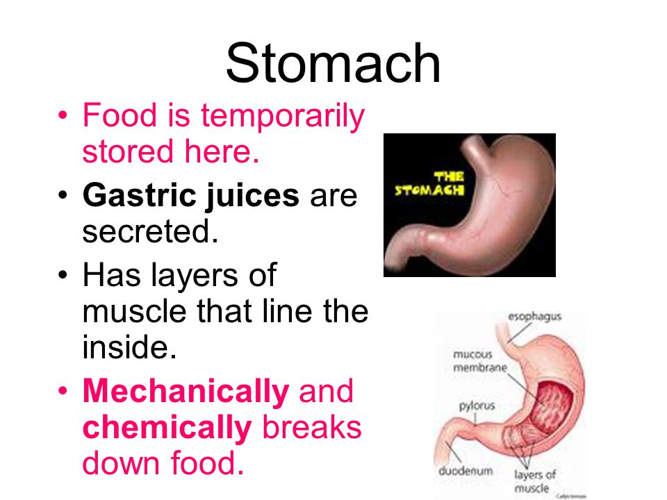Stomach Food is temporarily stored here. Gastric juices are secreted.