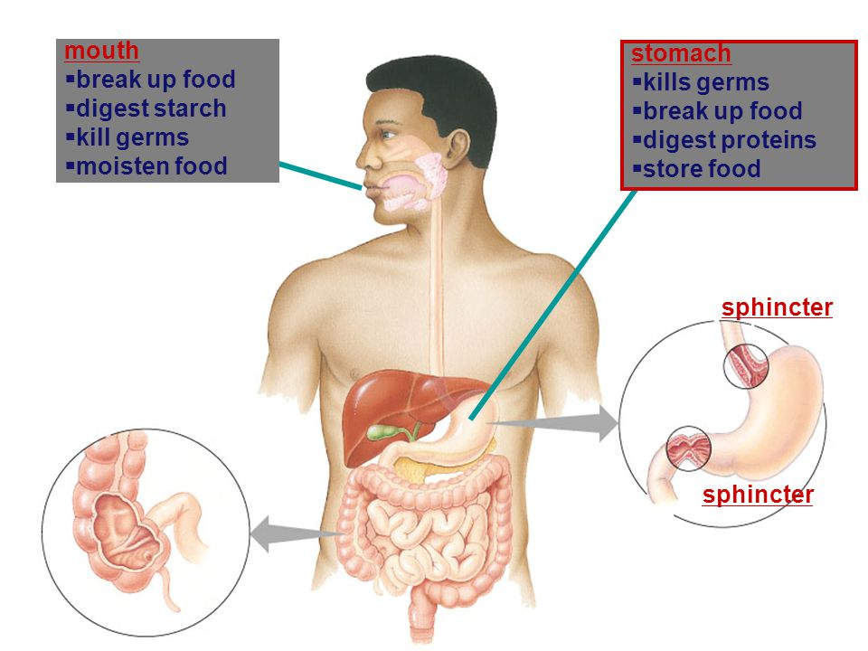 mouth break up food. digest starch. kill germs. moisten food. stomach. kills germs. break up food.