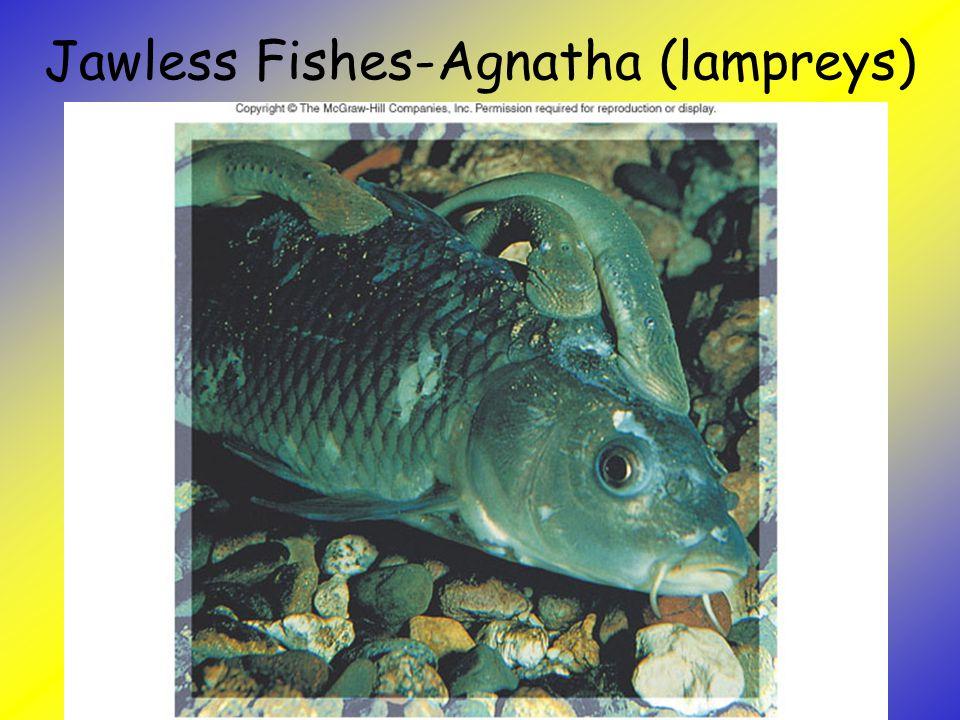 Jawless Fishes-Agnatha (lampreys)