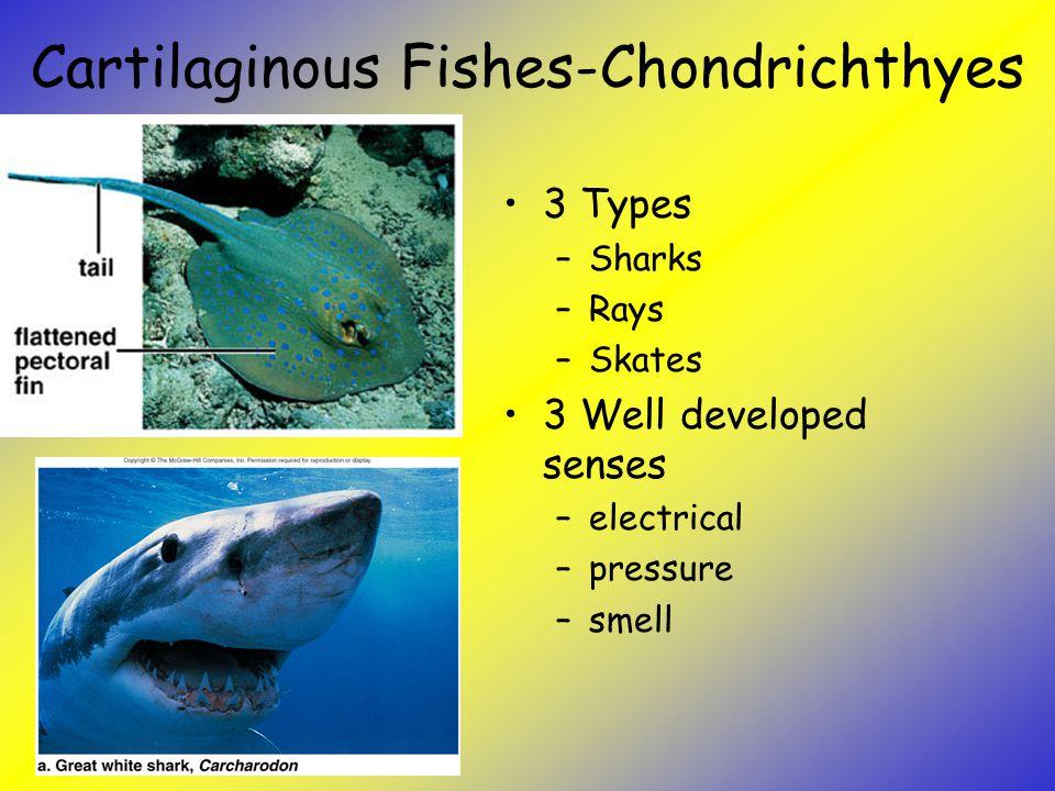 Cartilaginous Fishes-Chondrichthyes