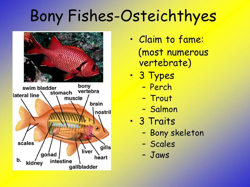 The link between invertebrates and vertebrates ppt video for Types of bony fish
