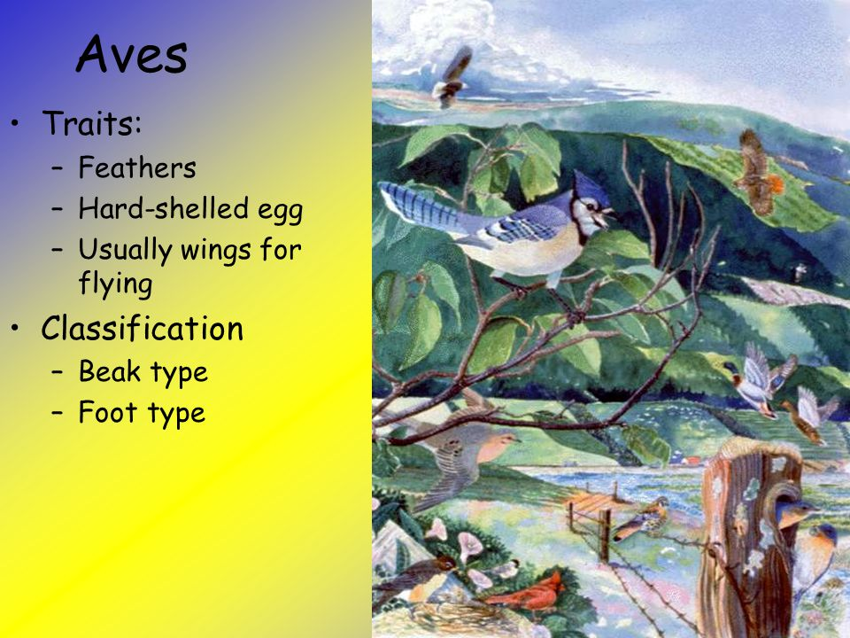 Aves Traits: Classification Feathers Hard-shelled egg