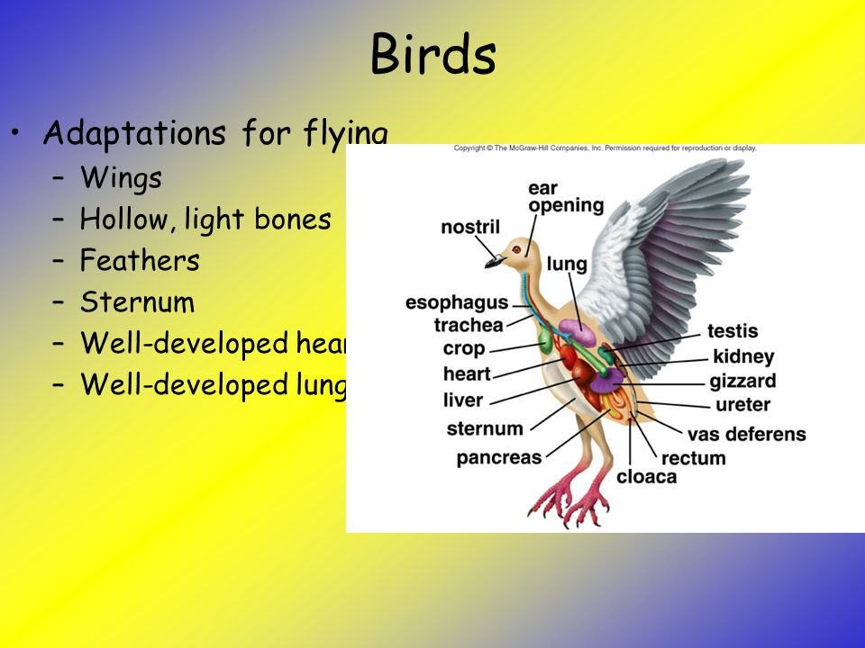Birds Adaptations for flying Wings Hollow, light bones Feathers