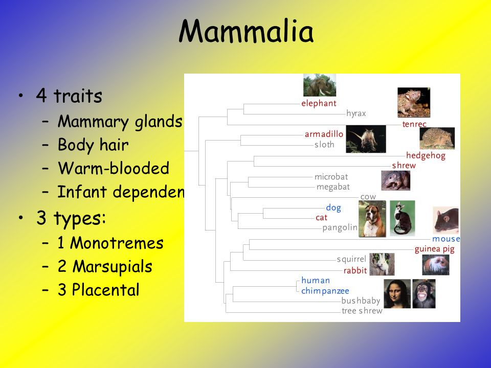 Mammalia 4 traits 3 types: Mammary glands Body hair Warm-blooded