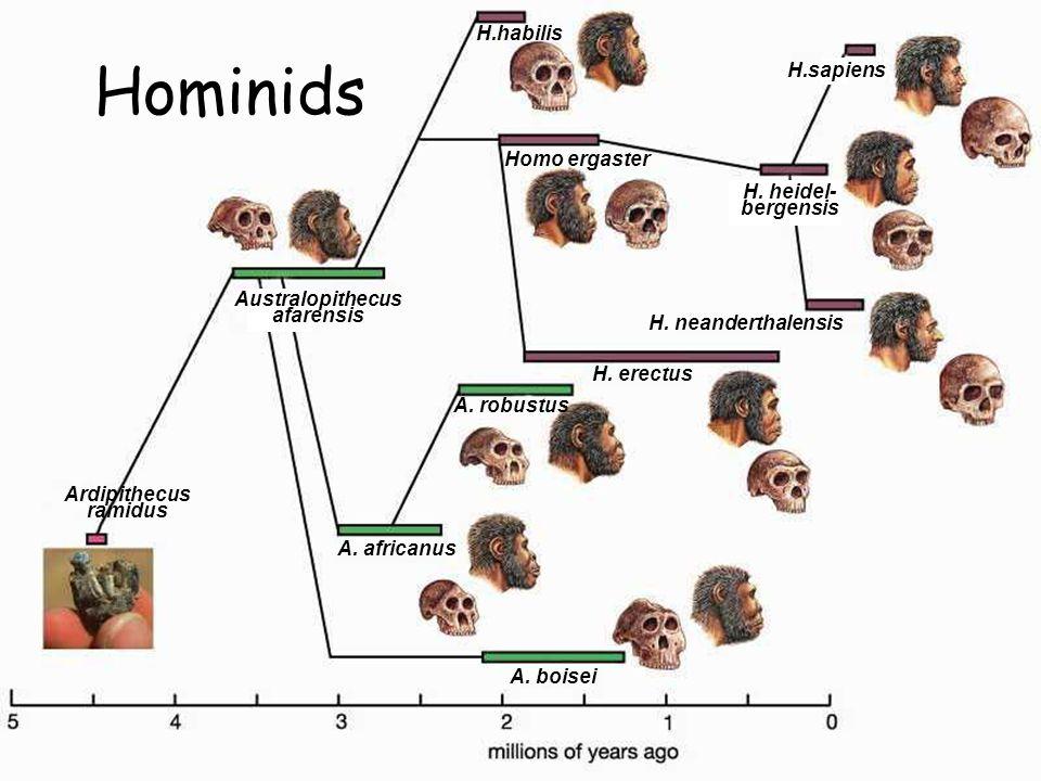 Hominids H.habilis H.sapiens Homo ergaster H. heidel- bergensis