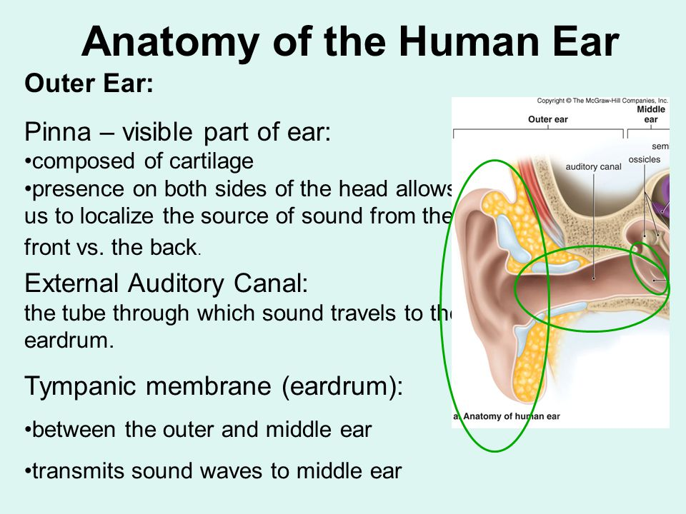 Outer ear anatomy picture