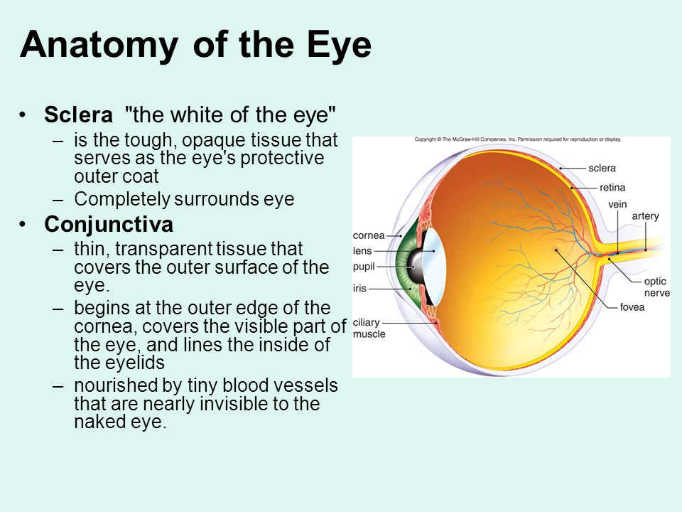 Luxury Anatomy Of The Eye Conjunctiva Crest - Human Anatomy Images ...