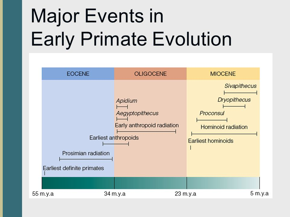 early primate evolution The evolution of primates  early human evolution modern humans and chimpanzees evolved from a common hominoid ancestor that diverged approximately 6 million .
