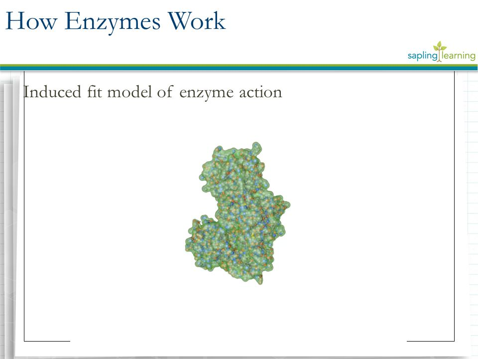 How Enzymes Work Induced fit model of enzyme action