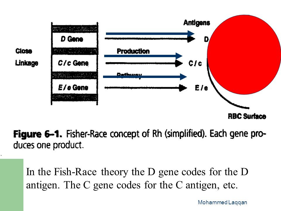 In the Fish-Race theory the D gene codes for the D antigen