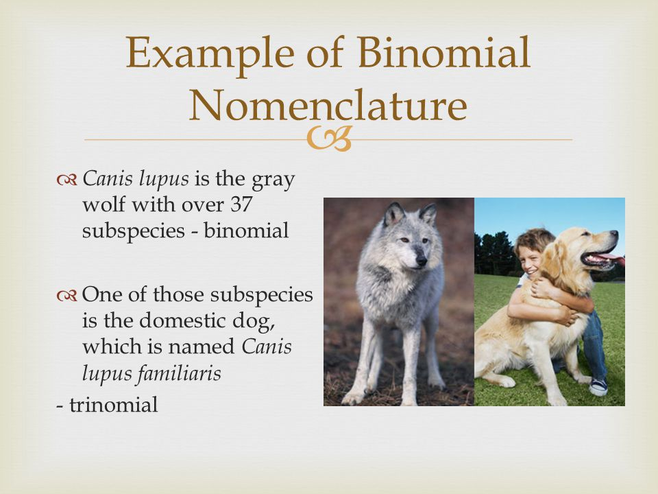the domestication of the gray wolf Can you domesticate a wolf if you raise the wolf from birth, will it be dangerous eventually if so, will it be a threat to its owners, other people, or both.