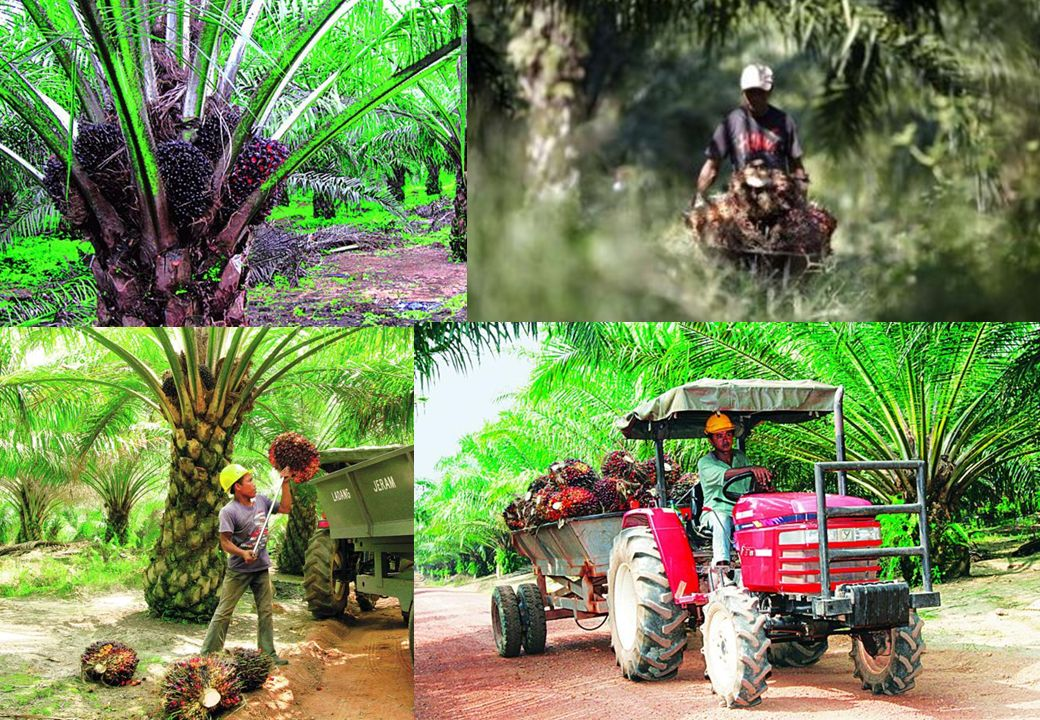 The source of palm oil is the fruit of the oil palm tree