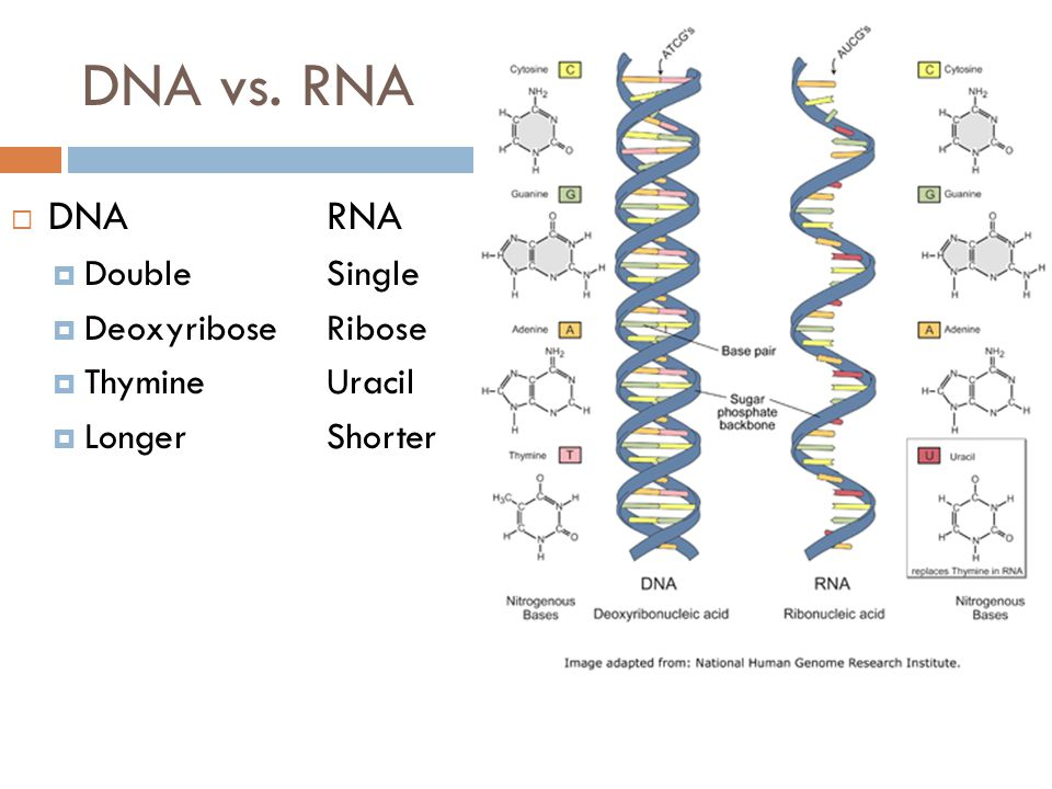 dna vs rna Differences between dna and rna (dna vs rna) chromosomes are made up of nucleoproteins which constitute basic proteins and nucleic acids  two kinds of nucleic acids are recognised.