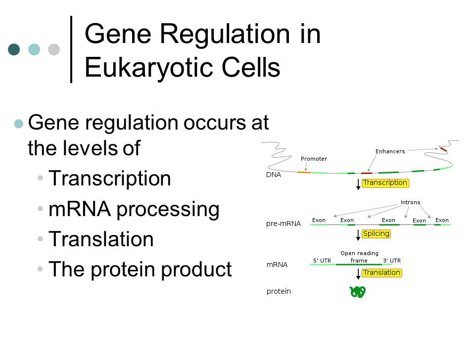 regulation in eukaryotic cells In this lesson, we'll explore the unique considerations for gene regulation in the eukaryotic cell we'll walk through rna splicing of introns and.
