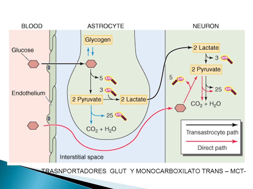 TRASNPORTADORES GLUT Y MONOCARBOXILATO TRANS – MCT-