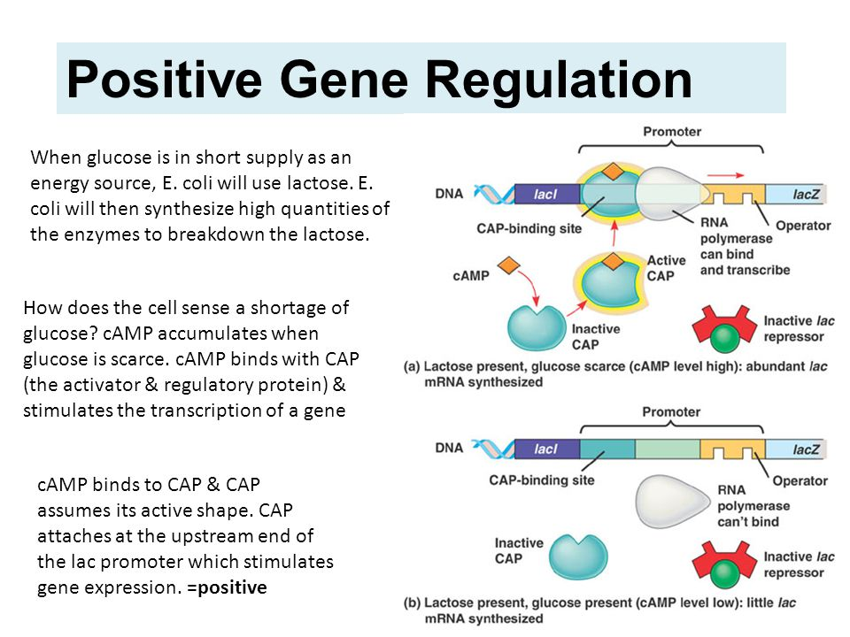 a proposition of gene regulation using the lac operon 166 bacterial gene regulation  the repressor of the lactose operon is coded for by the lac i gene  by testing the density of the color in each tube using the.