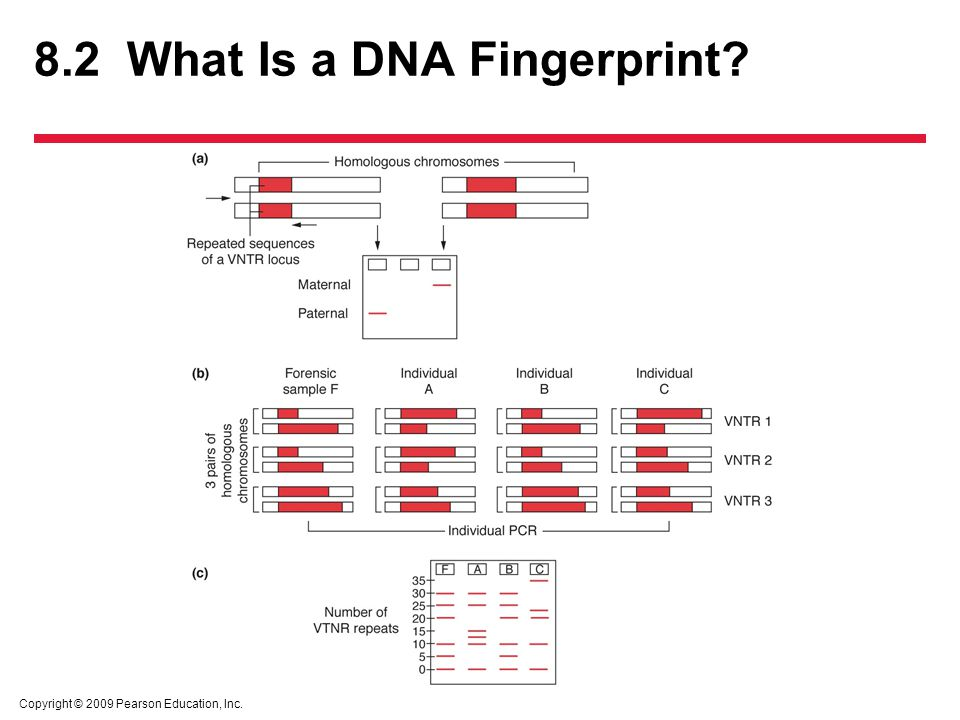 Dna fingerprinting and forensic analysis ppt video online download 7 82 what is a dna fingerprint ccuart Images