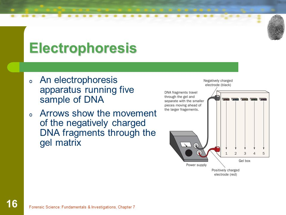 Electrophoresis An electrophoresis apparatus running five sample of DNA.