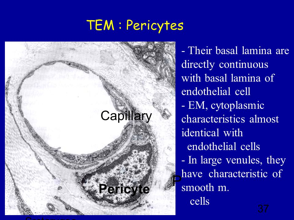 Basal Lamina Capillary 2018 images& pictures Circulatory System Slide 12