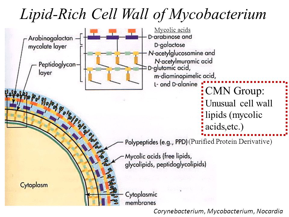 Lipid-Rich Cell Wall of Mycobacterium
