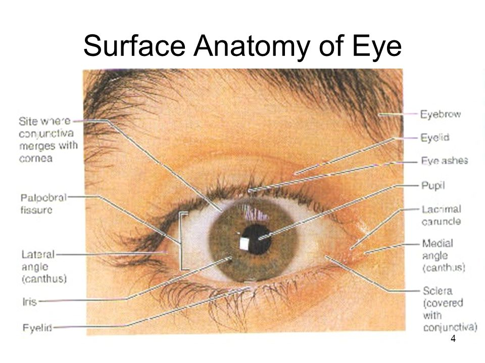 Surface anatomy of eye