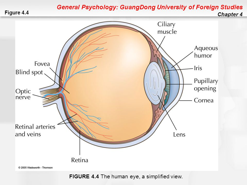Chapter 4 sensation and perception ppt download 8 figure 44 the human eye a simplified view ccuart Images