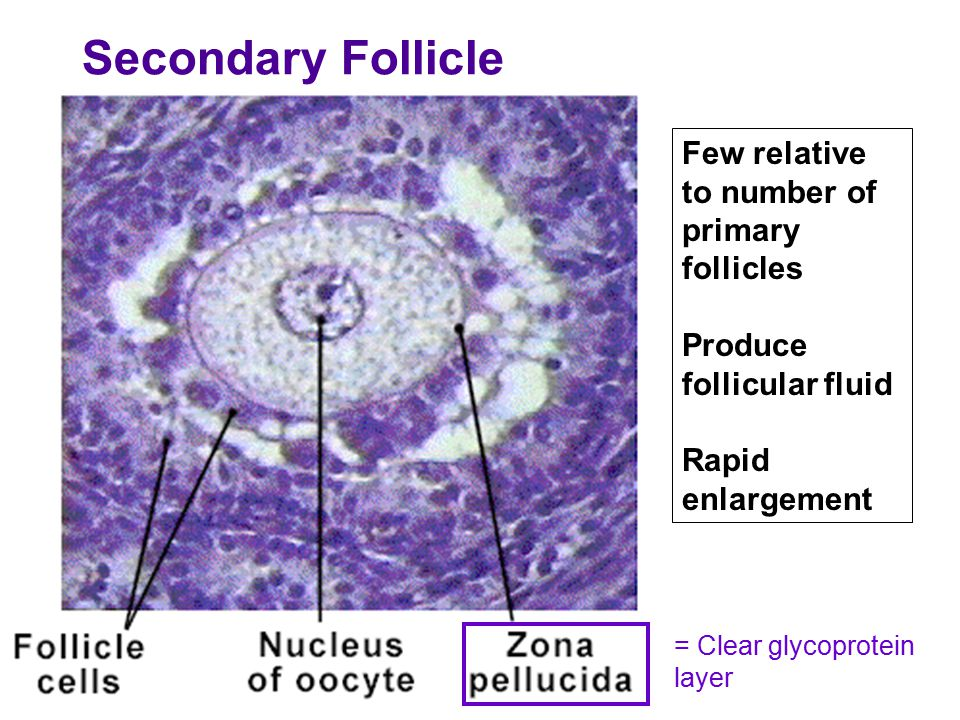 Primary, Secondary & Tertiary Follicles