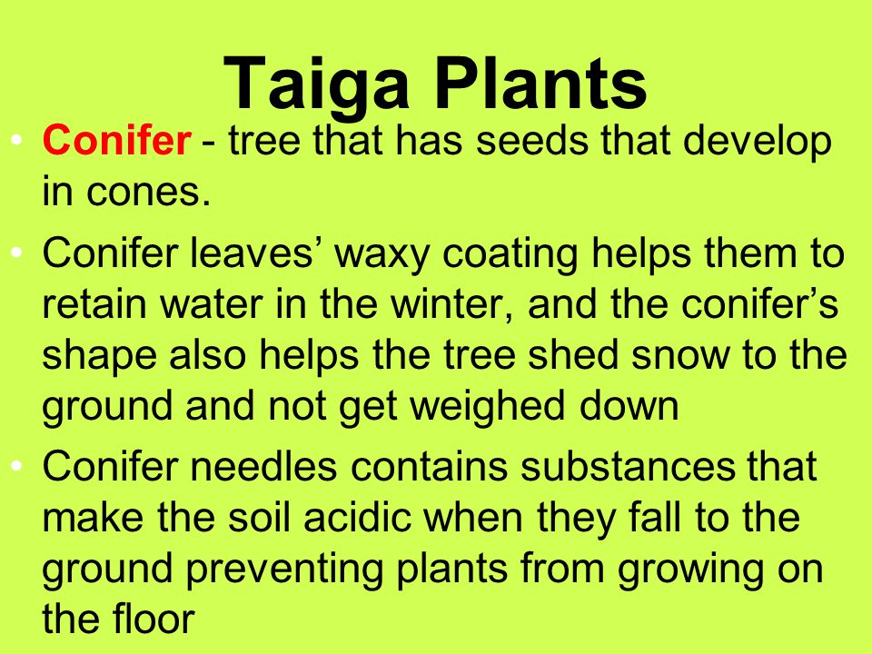 Taiga Plants Conifer - tree that has seeds that develop in cones.