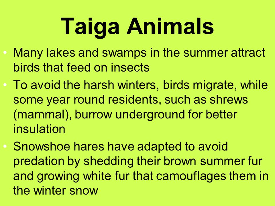 Taiga Animals Many lakes and swamps in the summer attract birds that feed on insects.